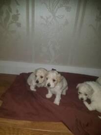 Cavuchon puppies
