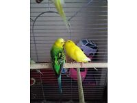 Pair off budgies