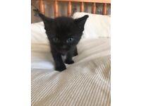 Two black kittens 8 weeks old