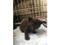 Last kitten left! Ready sept 8th
