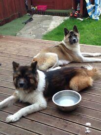 Beautiful Akita puppies for sale