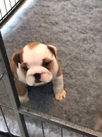 English bulldog triple carrier Female