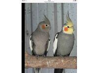 Grey cockatiels for sale