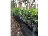 Laurel Shrub Evergreen Suitable For Hedging Plant White Flowers 60cm to 65cm Tall
