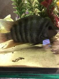Male convict cichlid 4""