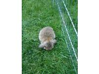 Pure mini bunny