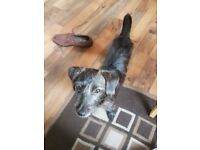 5mth old patterdale puppy