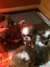 Stunning shi tzu puppies ready 17 December