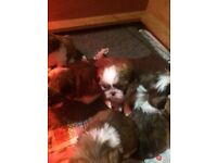 Stunning shi tzu puppies ready 17 December