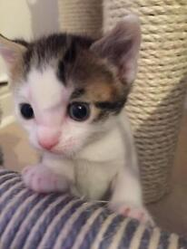 BSH X KITTENS FOR THEIR FOREVER HOMES *UPDATE! THERE IS ONLY 1 BOY LEFT*