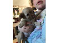 Chihuahua pup boy