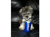 Toy schnoodle puppies (pra clear)