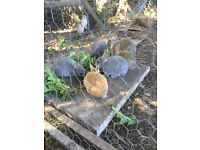 3 rabbits for sale 2 girls and one male. Netherland dwarf