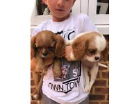 Cavalier King Charles Spaniel 2 girls left
