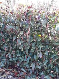 photina red robin hedging. ( ruffly 2-3ft in height)