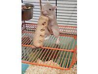 2x cute female gerbils