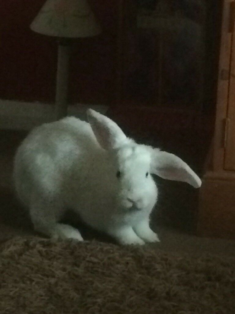 White girl bunny . 5 months old.