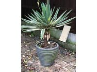 Plant with container pot