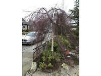 Weeping Beech Tree for free