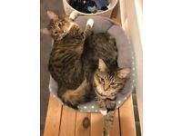 2 Ragdoll X 14 month old kittens