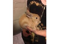 Baby Netherland & Baby Lionhead Rabbits