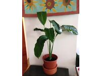 Peace lily - 70cm in plastic pot