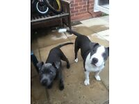 Blue Staffordshire bull terrier male and female