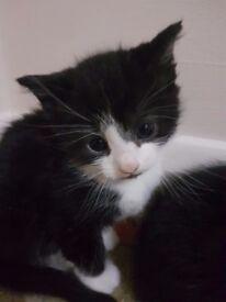 Male Kitten for sale