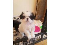 Shih Tzu x Japanese Chin Puppies