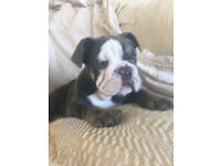 English Bulldog Puppy - CLEAR,carrying carrying chocolate