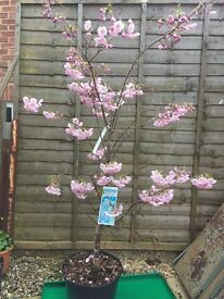 Flowering cherry - Prunus Accolade