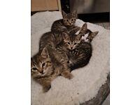 Male tabby kittens