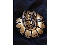 Pastel, fire ball pythons and orange motley corn snake