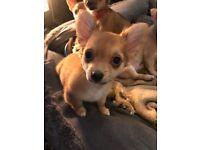 3/4 chiahuahua 1/4 jack Russel puppies. Ready now.