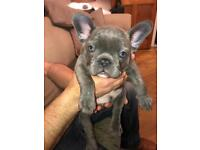 Ready to leave now french bulldog puppy