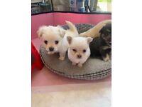 Pomchi puppies (Chihuahua x Pomeranian)