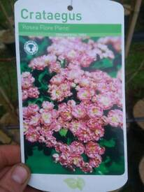 Flowering Hawthorn Tree [Crataegus Rosea Flore Pleno]