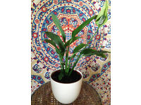 Small Peace Lily in Simple Cream White Pot