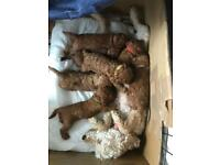 Large Toy Poodle Pups