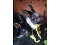 Only 1 left now tamed & trained baby rabbits for sale