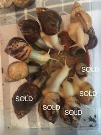 Adult Giant African Land Snails