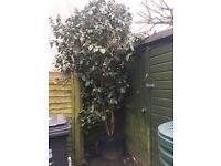 Camellia Tree/bush 2m tall £60