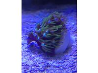 GSP Green Star Polyp Marine Coral Frag