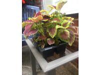 Tray of 4 Large Coleus Plants.