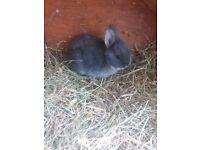 Female Dwarf Bunny Ready now