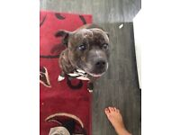 Staffy 7 year old beautiful boy after rehoming him cause of moving homes