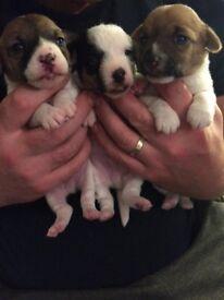 Jack Russel Puppies, Tri colour