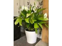 Large Peace Lily in a large ceramic plant pot 🌱