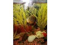 Approx 4-5 inch osca tropical fish