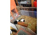 2 Baby guinea pigs and cage
